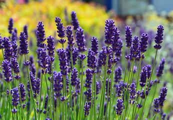 Fototapeta lawenda wąskolistna - lavender - Lavandula angustifolia