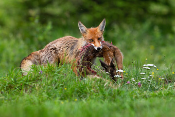 Red fox hunting juvenile roe deer fawn on meadow in summer