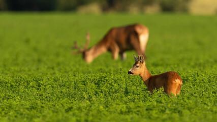 Roe deer and red deer grazing in clover in summer light