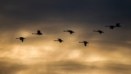 Flock of mute swans flying in the sky in summer sunset