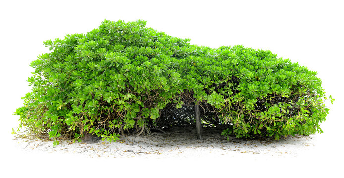 Cut out green hedge. Bush in summer isolated on white background. Green shrub with lush foliage.