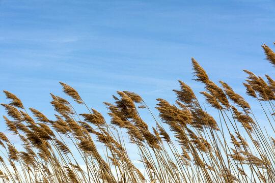 Closeup shot of pampa grass under a cloudy blue sky on a windy day