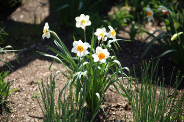 White-yellow daffodils in a garden - green environment