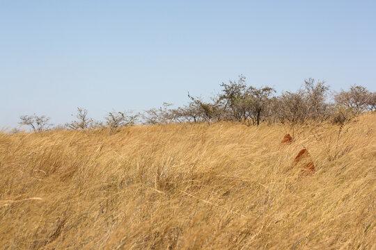 Savanna landscape in Ankarafantsika National Park, Madagascar. Tall, dry yellow grasses under a blue sky in Africa.