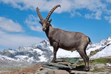 Fototapeta Capra ibex. Bouquetin des Alpes. Mâle. Grand Bornand. Haute-Savoie. France