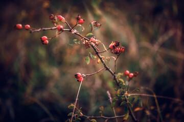 Fototapeta  dzika róża