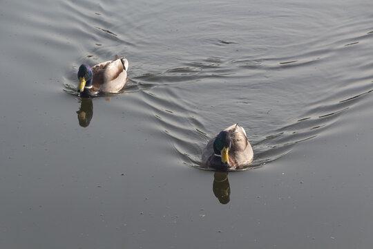 Two male mallard ducks swimming on a river
