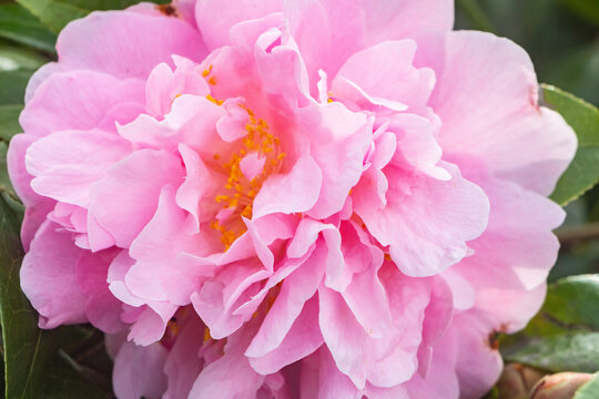 Pink flower of camellia in a gardeb