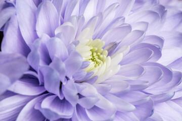 Fototapeta Niebieski aster z pięknymi płatkami