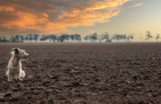 Closeup shot of a little dog sitting on the cultivated field in the sunset sky background