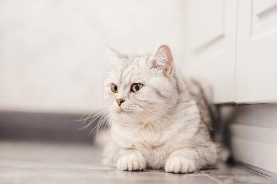 Funny gray pussy lying resting.Beautiful Scottish cat.