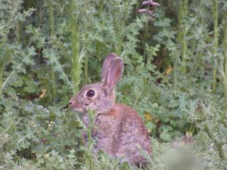 Obraz królik zwierze trawa zarośla fauna natura - fototapety do salonu