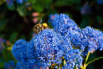Obraz pszczoła zwierze kwiat makro natura  - fototapety do salonu