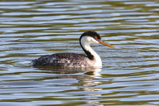 A Western Grebe, swimming in a lake in late Springtime, viewed up close.
