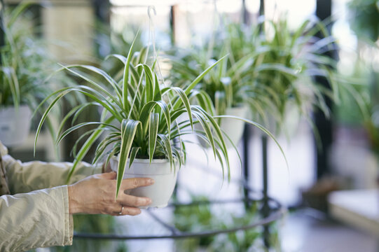 Closeup shot of woman hands holding a hanging chlorophytum in the garden