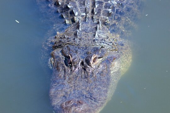 Alligator lurking below the surface