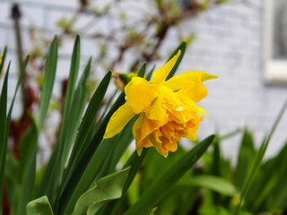 Yellow flower after rain. Narcis blooms and grows on a bush in the garden. Flowers in the park after the rain. Banner.