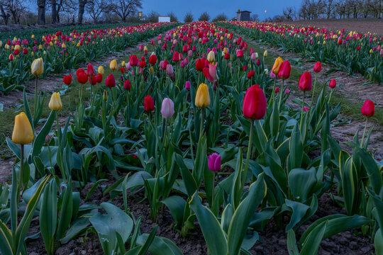Tulpen, Frühling, Blumen, Blumenfeld, Blumenbeet, blüten, Blütenblätter, bunt, farbenroh, morgenstunde, natur, draussen, landschaft, rheinhessen, rheinlandpfalz, farbklecks, feld, ländlich, pflücken,