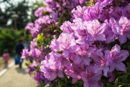 purple royal azalea blooming