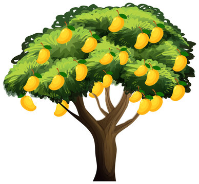Yellow mango tree isolated on white background