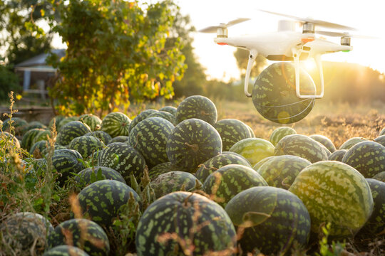 Drone delivers watermelons from the agricultural field. Smart farming concept