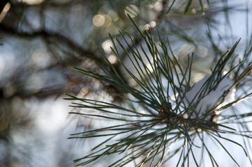 Fototapeta Sosnowa gałązka w śniegu i popołudniowym słońcu obraz