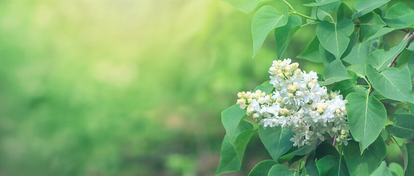 Branch of blossoming Syringa lilac bush. Springtime landscape with bunch of white flowers. Horizontal banner with copy space for text