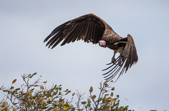 Lappet-faced Vulture ready to fly as it perches on a branch