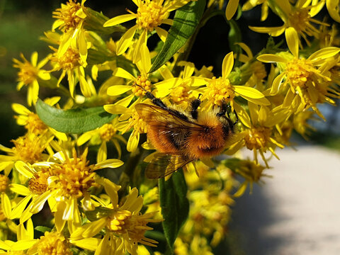 The bee collects nectar on the yellow flowers of solidago or goldenrod.