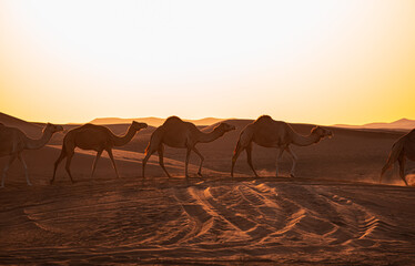 Fototapeta Beautiful shot of camels Dubai at sunset