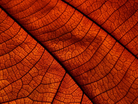 close up dry brown leaf texture ( teak leaf )