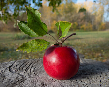 Red ripe apple with foliage on the background of a meadow in the village.
