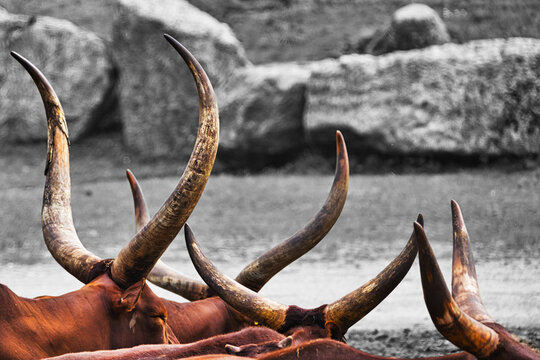 Abstract picture of a herd of Watussi cattle in which only the horns are visible. Scientific name Bos taurus, African domestic cattle for meat supply, animal