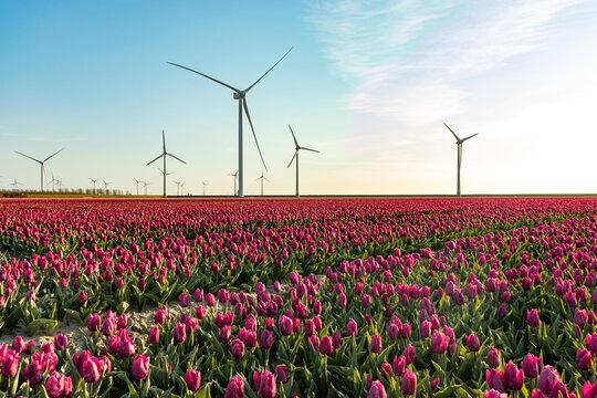 Tulip with windmills