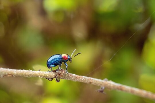 Blue Milkweed Beetle (Chrysochus pulcher) on the leaf