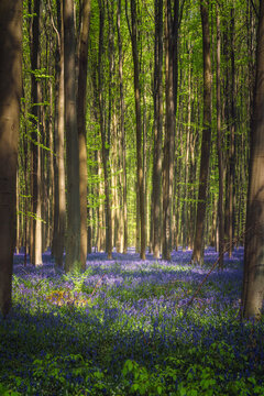 The enchanted blue forest. Hallerbos, Belgium. The bluebells, which bloom around mid-April, create a beautiful purple carpet. The giant Sequoia trees are present in the forest.