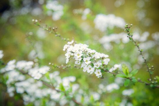 Thunberg's meadowsweet flower.