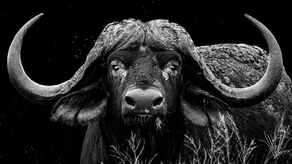 Fototapeta Monochrome portrait of a large African buffalo bull with impressive horns