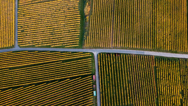 Aerial shot of the yellow field