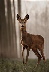 Corius roe deer in the woodland