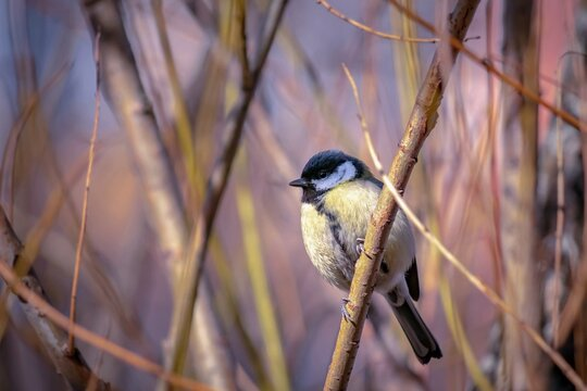 A small yellow bird sits on a tree branch. Great tit.