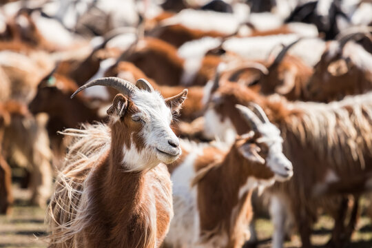 Close-up of a herd of goats in Mongolia