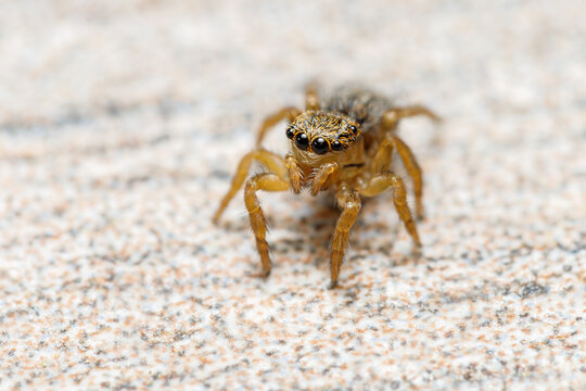 Small female jumping spider, Salticidae Euophrys herbigrada