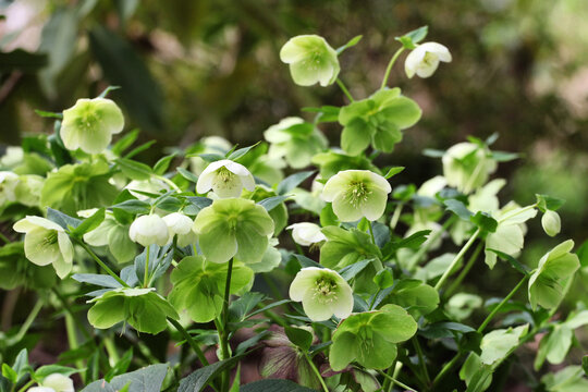Green hellebores or lenten rose in flower
