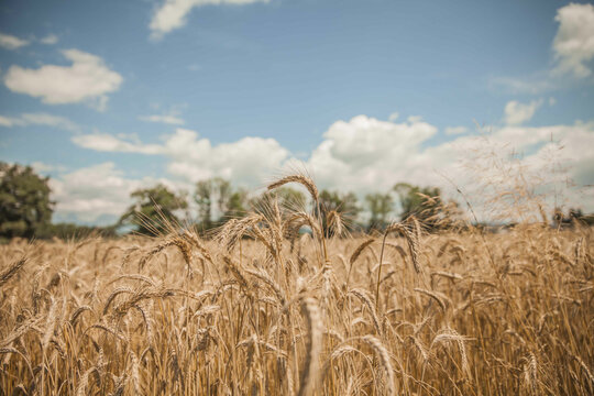 Dry wheat field under blue sky and white clouds