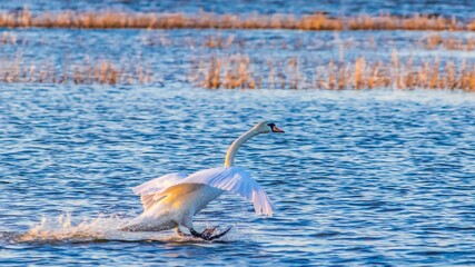 Fototapeta Swan obraz