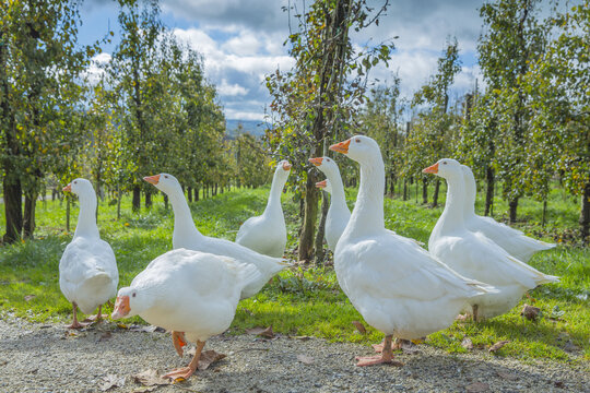 Group of white geese on a green garden