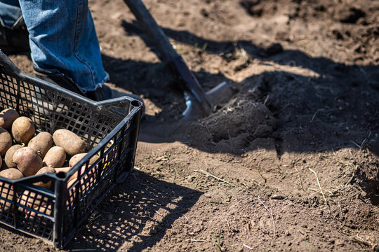 farmer man boot on spade prepare for digging. box of potatoes for planting. Sprouted potatoe with eyes, eyehole, bud appeared. Chitting Solanum tuberosum, Encouraging seed to sprout before planting