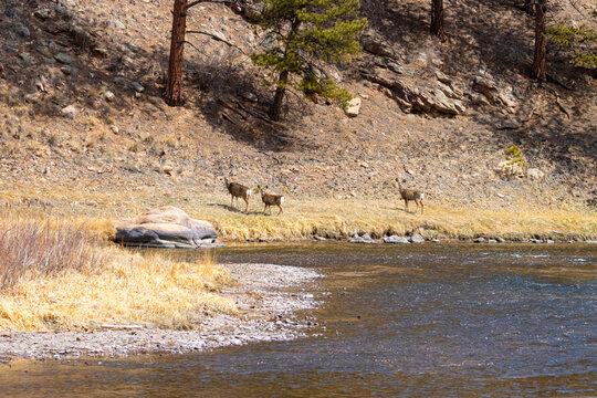 Mule Deer at the South Platte River