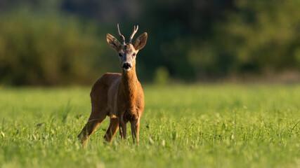 Alert roe deer standing on grassland in sunny summer